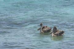 Пара пеликанов Брайна Стоковые Фото