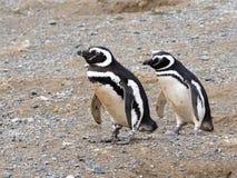 Пара пингвина Magellanic, magellanicus spheniscus на вложенности роет, Isla Магдалена, Патагония, Чили Стоковые Изображения RF