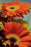 Я люблю дать цветки gerbera к моим любимейшим женщинам Стоковые Изображения