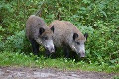 пара поросят стоит на крае дороги в середине расчистки леса стоковые фото