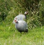 Пара птицы Гвинеи Стоковая Фотография RF
