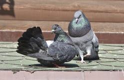 Пара птиц - голубей стоковое изображение rf