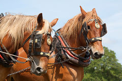 Пара работая лошадей Стоковое Фото