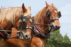 Пара работая лошадей Стоковое фото RF