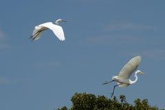 Пара размножения больших egrets принимает полет Стоковая Фотография