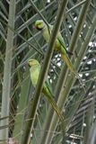 Пара Роза-окруженного длиннохвостого попугая стоковые фото