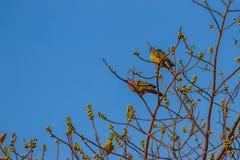 Пара Розов-necked зеленой птицы голубя (vernans Treron) perc Стоковое фото RF