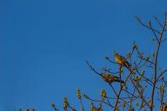 Пара Розов-necked зеленой птицы голубя (vernans Treron) perc Стоковая Фотография