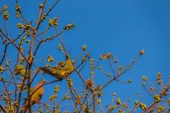 Пара Розов-necked зеленой птицы голубя (vernans Treron) perc Стоковые Изображения