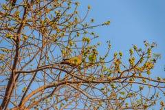 Пара Розов-necked зеленой птицы голубя (vernans Treron) perc Стоковое Фото