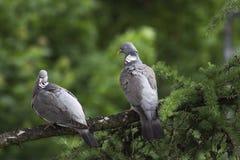 Пара сватает dpigeons сидя на ветви Стоковое Фото