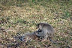 Пара серой обезьяны помогает одину другого на саванне Bekol, Baluran Национальный парк Baluran зона консервации леса это стоковые фото