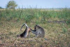 Пара серой обезьяны помогает одину другого на саванне Bekol, Baluran Национальный парк Baluran зона консервации леса это стоковые изображения