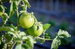 Пара томата приносить на заводе ветви Стоковое Изображение