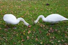 Пара травы лебедей обгрызая Лебеди идя на траву Лебеди едят Белые лебеди на лужайке Стоковое фото RF