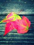 Пара упаденных кленовых листов падения Стоковая Фотография
