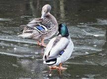 Пара уток стояла на льде в замороженном реке Стоковое Фото