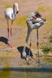Пара фламингоа Стоковое фото RF
