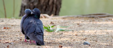 Пара целовать голубей Стоковые Фотографии RF