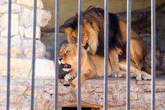 Пара львов в плене в зоопарке за решеткой Период замужества для львов Животный инстинкт Стоковое Изображение RF