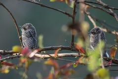 Пара юноши деревянной птицы shrike Стоковое Изображение RF