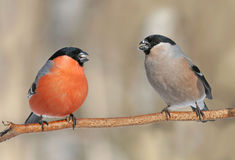 Пара bullfinches Стоковое фото RF