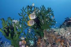 Пара butterflyfish панды стоковое фото rf