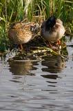 пара ducks mallards одичалые Стоковые Изображения