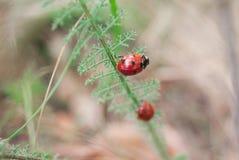 Пара ladybirds на траве Стоковое Фото