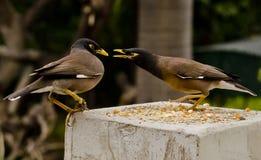 Пара maynas воюя на фидере птицы Стоковая Фотография RF