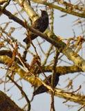 пара starlings Стоковое Изображение RF