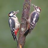 Пара Woodpeckers на дереве в лесе Стоковое Фото