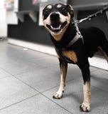 Парень детенышей pincher черной собаки стоковые фото