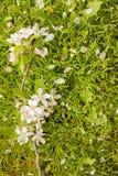 Парик с цветками яблони Стоковые Изображения