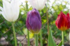 Парк весной Тюльпаны ландшафта фокуса поля дня облаков сини небо выставки заводов движения должного польностью зеленого маленькое стоковая фотография