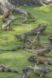 Парк Гуаякиль эквадор игуаны стоковые изображения rf