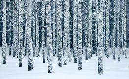 Парк зимы с березами стоковые фотографии rf
