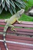 Парк игуаны  Стоковое фото RF