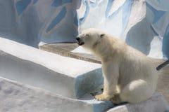 Парк Новосибирска зоологический Полярный медведь на зоопарке стоковые изображения