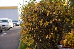 Парк осени, букет роз сделанных от упаденных кленовых листов лежит Стоковые Фото
