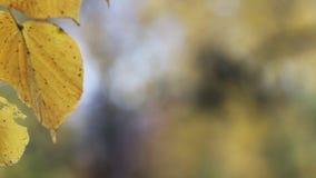 Парк осени - яркие желтые листья накаляют в солнце акции видеоматериалы