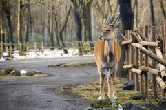 Парк оленей Стоковая Фотография