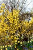 Парк руин замка Funaoka, Shibata, Miyagi, Tohoku, Япония на 12,2017 -го апреля: Желтый Forsythia, желтые daffodils и голубой вино Стоковые Изображения RF