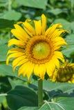 Парк сада солнцецвета публично Стоковая Фотография