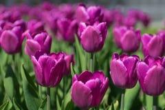 Парк сада тюльпана Стоковая Фотография RF