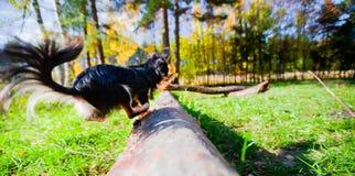 парк собаки чихуахуа стоковое фото rf