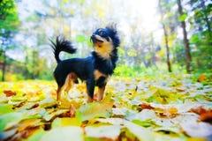 парк собаки чихуахуа Стоковые Фотографии RF