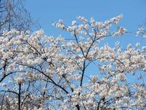 Парк Торонто высокий дерево 2018 вишневого цвета Стоковая Фотография RF