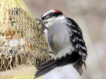 Парк Торонто высокий пуховый Woodpecker 2018 Стоковое Фото