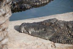 Парк Тунис сафари крокодила Стоковая Фотография